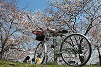 樱花树下自行车