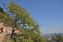 悬崖边一棵扇形的树