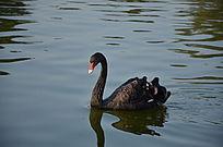 一只水中的黑天鹅