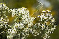白色的野菊花