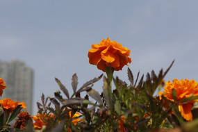 盆栽菊花小花