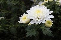 野菊花 白色菊花