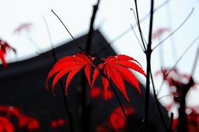 几片艳丽的红色枫叶