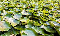 满池塘的荷叶 芙蓉