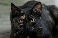 正面的黑猫
