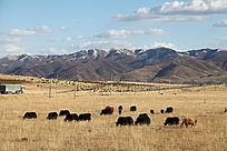 草原 天空 牦牛
