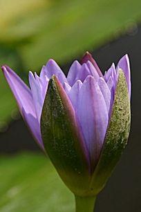 一朵微开的淡紫色花