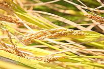 金黄的稻穗