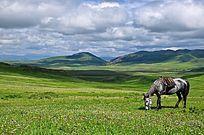 草原上的吃草的马