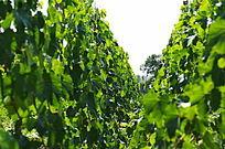 翠绿的葡萄叶子