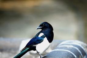 灰色瓦片上的喜鹊蓝色翅膀白色肚子侧面回眸