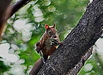 树上进食的松鼠爪子大眼睛果实