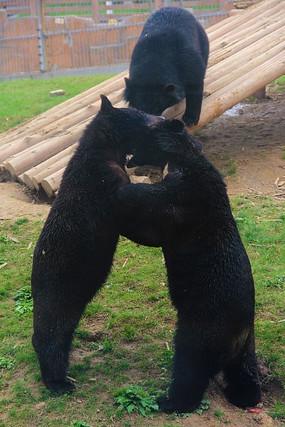站立纠缠的黑熊