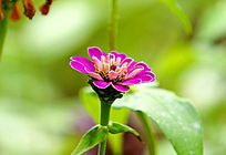 紫色小雏菊花瓣盛开特写