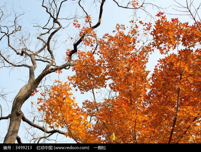 柿子树与红枫树图片