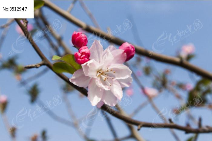 漂亮的海棠花开了