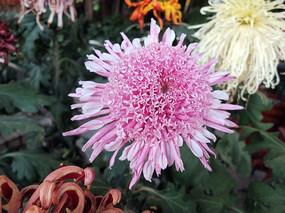 盛开的粉红色菊花
