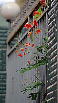出墙的红花绿叶