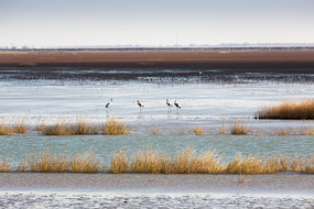 冬季湿地沼泽中站立的灰鹤