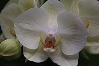 白色的蝴蝶兰花