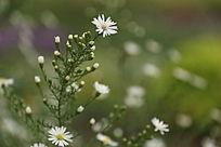 白色小野菊花