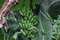 挂满香蕉的香蕉树