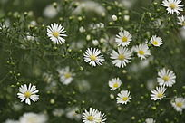 盛开的白色野菊花
