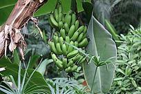一串绿香蕉