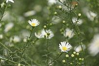 一朵白色野菊花特写