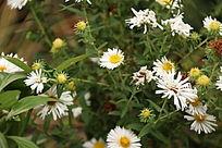 一片白色野菊花