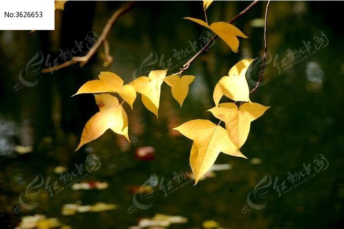垂挂的秋天枫叶图片