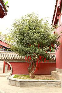 伏羲庙里的许愿树