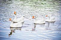 水中游弋的一群白鹅