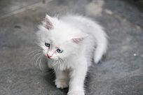 忧郁的白色超可爱白色小奶猫