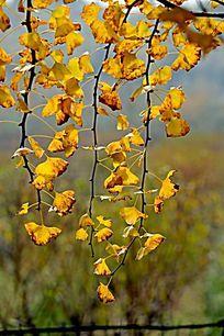 垂挂的银杏黄叶