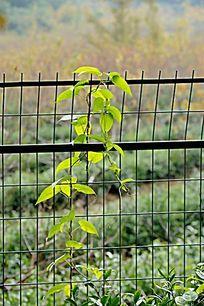挂在围栏上的一抹春意 绿叶绿植