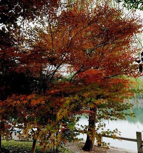 一株红枫树