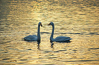 晨光中相亲相爱的一对天鹅