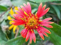 玫红色的天人菊花朵