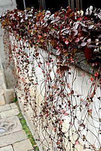 红色植物小品 窗口摆设