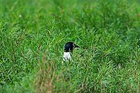 在绿草丛中做巢的黑嘴鸥