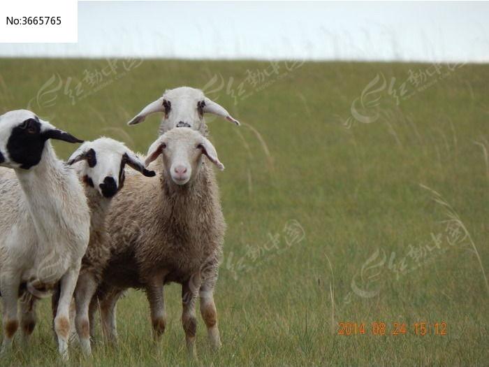 小羊羔图片