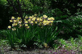 草地上的鸢尾花