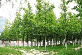 翠绿的一排银杏树图片