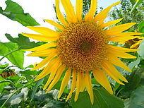 毛绒绒花蕊的向日葵花朵