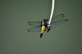 黑黄色的蜻蜓