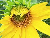 武汉害羞超嫩的黄色向日葵花朵
