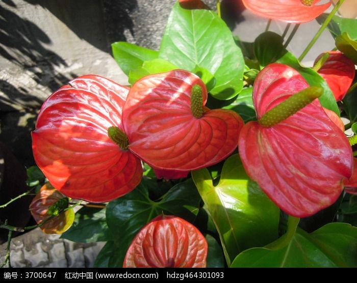 鲜艳欲滴的红掌花图片
