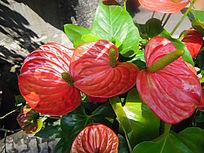 鲜艳欲滴的红掌花