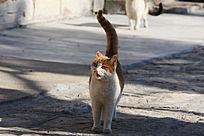 一只竖着尾巴张嘴发怒的猫